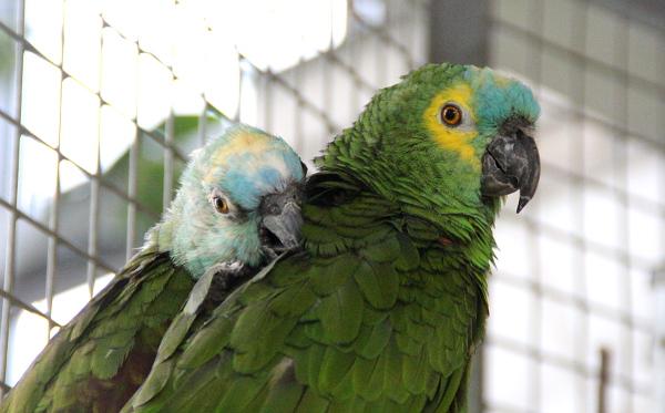 Harmonizující pár amazoňanů modročelých ve voliéře u vchodu do skleníků (Foto: Jan Potůček, Ararauna.cz)