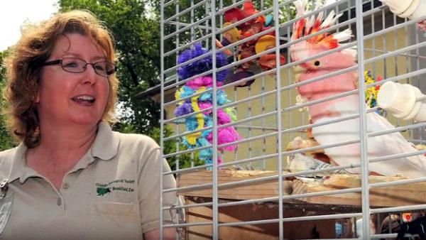 """Uhynul údajně nejstarší papoušek na světě. Kakadu inka """"Coockie"""" se dožil 83 let"""