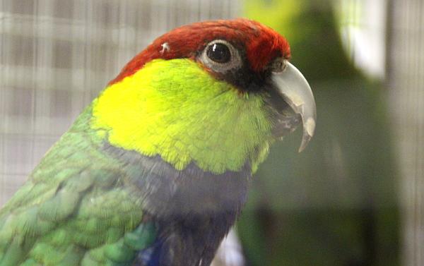 Velmi pestře zbarvený papoušek červenočapkový (Foto: Jan Potůček, Ararauna.cz)