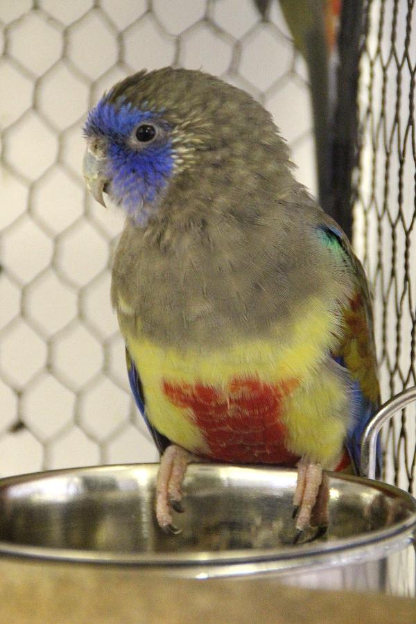 Mezi málo chované australské druhy patří i papoušek rudobřichý (Foto: Jan Potůček, Ararauna.cz)