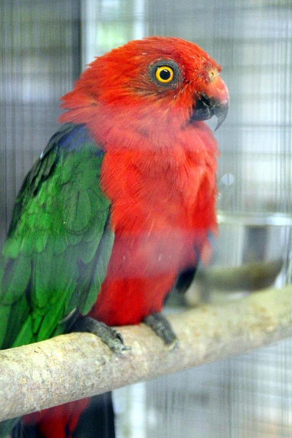 Nejvzácnější z vystavovaných australských papoušků: papoušek amboinský (Foto: Jan Potůček, Ararauna.cz)