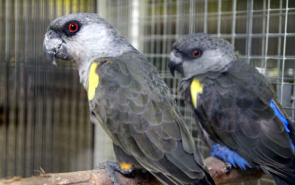 Obezřetní papoušci hnědí (Foto: Jan Potůček, Ararauna.cz)