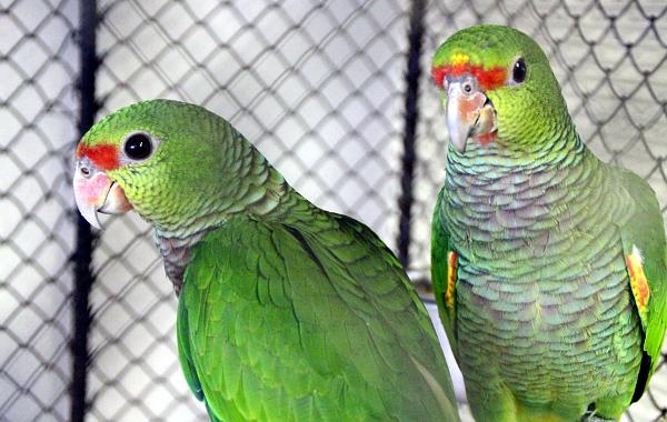 Krásně vybarvená mláďata amazoňanů vínorudých (Foto: Jan Potůček, Ararauna.cz)