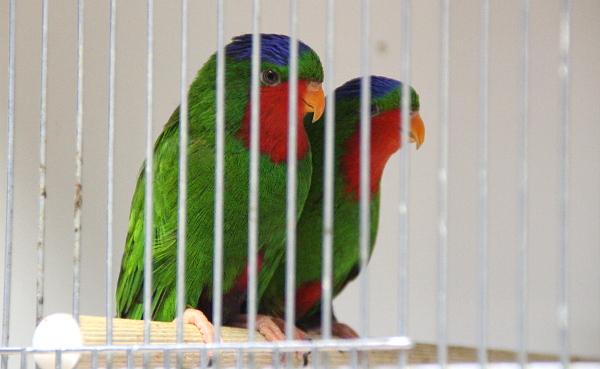 Rovněž vzácně vystavovaní papoušci: vini modrotemenný (Foto: Jan Potůček, Ararauna.cz)