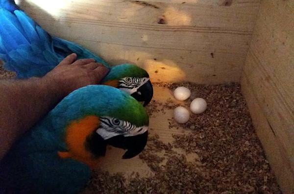 Všechna tři vejce jsou oplozená, stejně jako loni (Foto: Jan Potůček, Ararauna.cz)