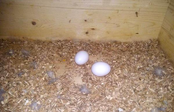 Druhé vejce samice snesla s několikadenním odstupem (Foto: Zdeněk Krňávek, Operenimazlicci.cz)