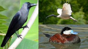 Invazní druhy ptáků v EU