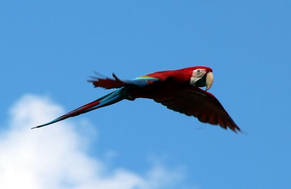 Letící ara zelenokřídlý, největší papoušek na srazu (Foto: Jan Potůček, Ararauna.cz)