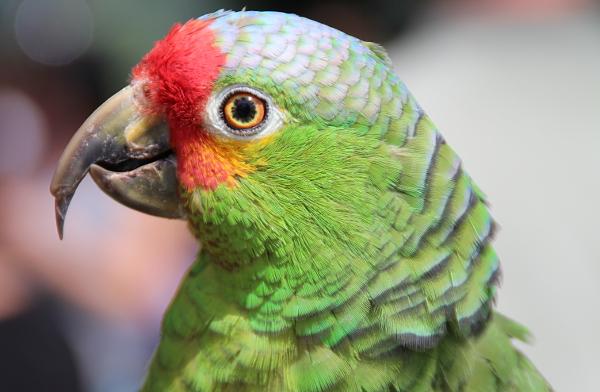 Detail hlavy. Mexická forma amazoňana žlutolícího se vyznačuje četnější červenou barvou na čele a lících (Foto: Jan Potůček, Ararauna.cz)