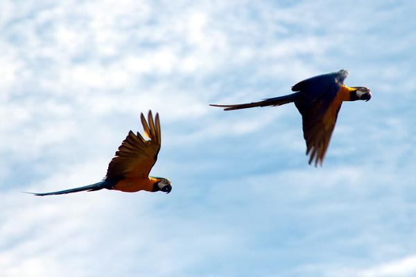 Letící pár arů araraun (Foto: Jan Potůček, Ararauna.cz)