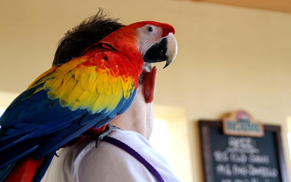 Ara arakanga byl asi nejpestřejším papouškem na setkání (Foto: Jan Potůček, Ararauna.cz)