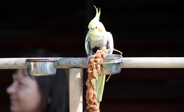 Nejmenšími papoušky na srazu byly korely. Letos se na Krásném sešly čtyři. (Foto: Jan Potůček, Ararauna.cz)