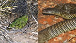 Papoušek noční a pakobra australská