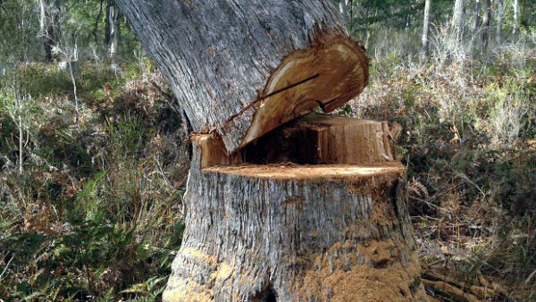 Australské ochránce šokoval případ kácení hnízdních stromů latamů vlaštovčích
