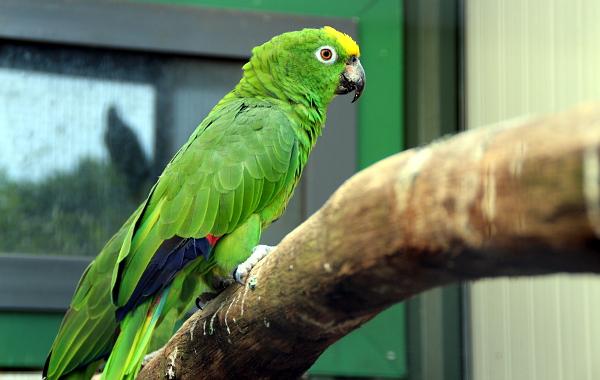 Pěkně vybarvený amazoňan žlutohlavý (Foto: Jan Potůček, Ararauna.cz)