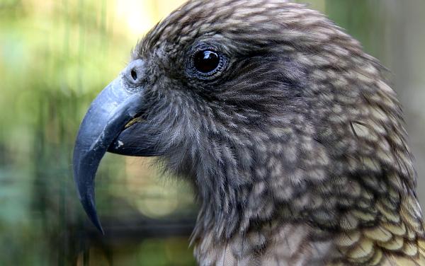 Nestorů kea chovají ve Veldhovenu šest. Mají je rozděleny po párek, každý je v jiné části zoo. (Foto: Jan Potůček, Ararauna.cz)