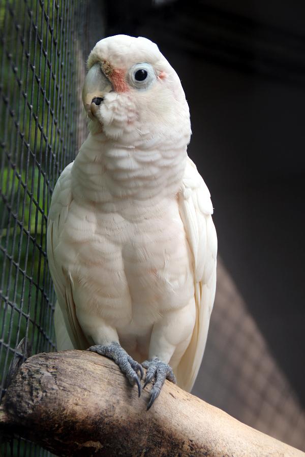 Vzácný kakadu goffin (Foto: Jan Potůček, Ararauna.cz)