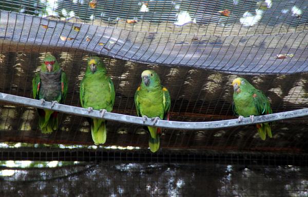 Mezi amazoňany ve společné proletové voliéře pro velké papoušky byl i amazoňan vínorudý - zcela vlevo (Foto: Jan Potůček, Ararauna.cz)