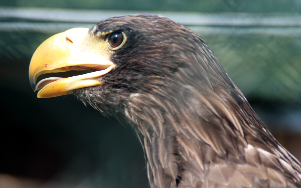 Ve Veldhovenu je snad největší hustota orlů kamčatských na kilometr čtvereční na světě (Foto: Jan Potůček, Ararauna.cz)