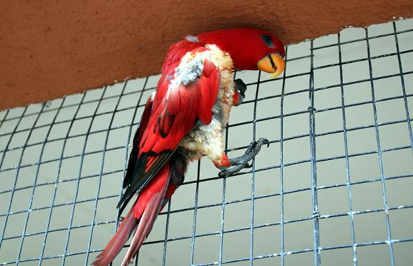 Volně vypuštěný lori červený na pletivu u loriů mnohobarvých. Zřejmě by si rád také zobnul nějaké slunečnice. (Foto: Jan Potůček, Ararauna.cz)