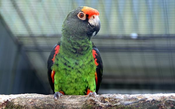 Kromě žaků ve Veldhovenu zastupoval africké papoušky i tento papoušek konžský (Foto: Jan Potůček, Ararauna.cz)