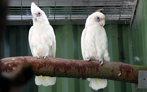 Párek kakadu naholících (Foto: Jan Potůček, Ararauna.cz)