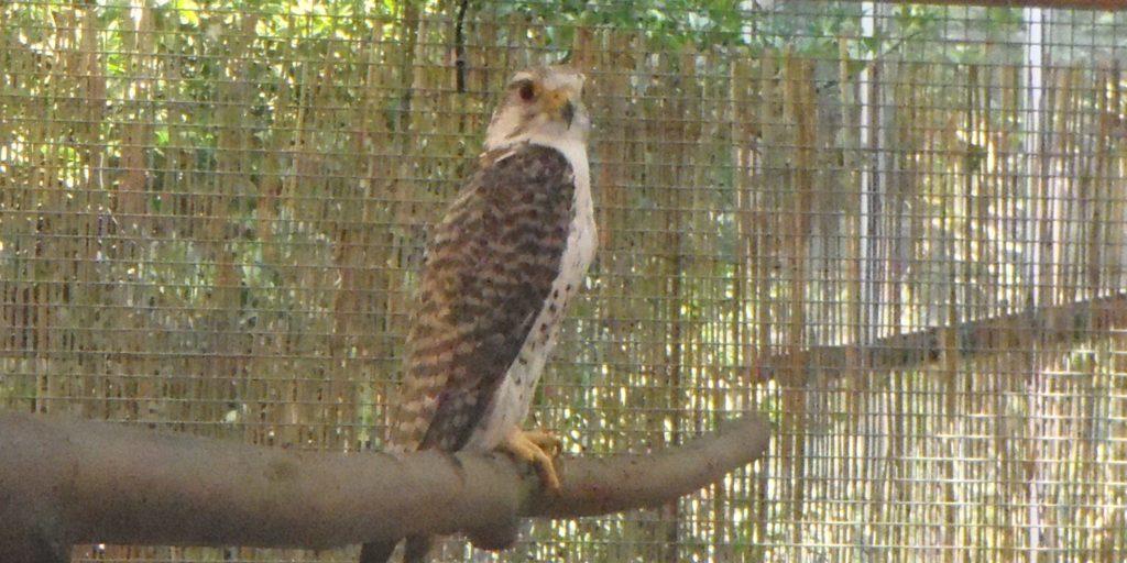 Raroh lovecký na výstavě v Botanické zahradě (Foto: Milena Potůčková)