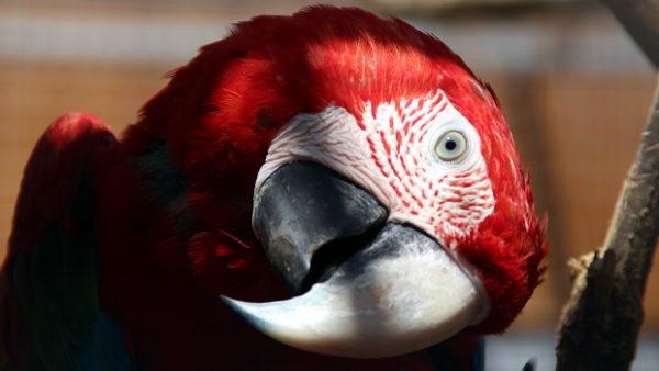 Zoo Praha ukončila chov arů zelenokřídlých, vrátili se do ní ale papoušci patagonští