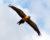 Lovec zastřelil nad polem aru araraunu vycvičenou k volnému létání. Před očima majitele