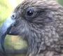 Dvě třetiny mláďat nestorů kea se v přírodě nedožijí dospělosti. Vědci bijí na poplach