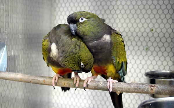 Staronovým druhem v pražské zoo je papoušek patagonský (Foto: Jan Potůček, Ararauna.cz)