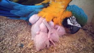 Ara ararauna s mláďaty