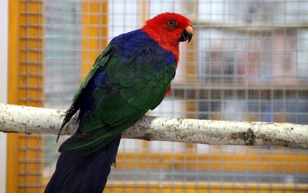 Vzácně chovaný papoušek amboinský (Foto: Jan Potůček, Ararauna.cz)