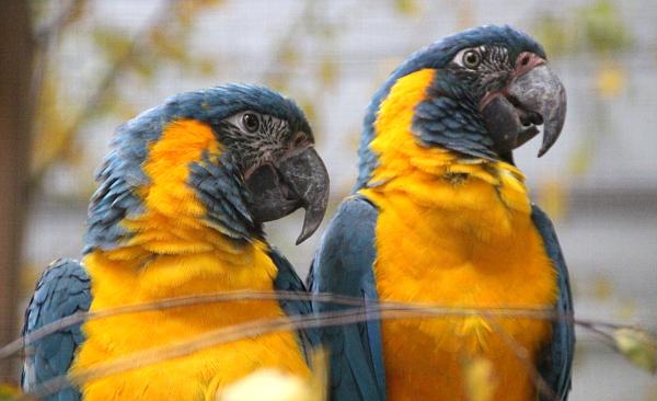 Nejvzácnější papoušek na výstavě: ara kaninda (Foto: Jan Potůček, Ararauna.cz)