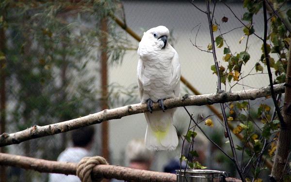 Kakadu bílý v největší voliéře na Exotice 2016 (Foto: Jan Potůček, Ararauna.cz)