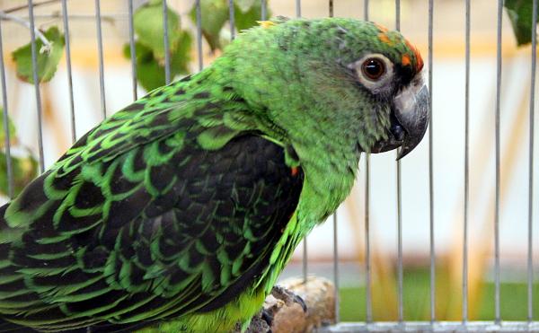 Největší africký druh papouška na Exotice 2016: papoušek konžský (Foto: Jan Potůček, Ararauna.cz)