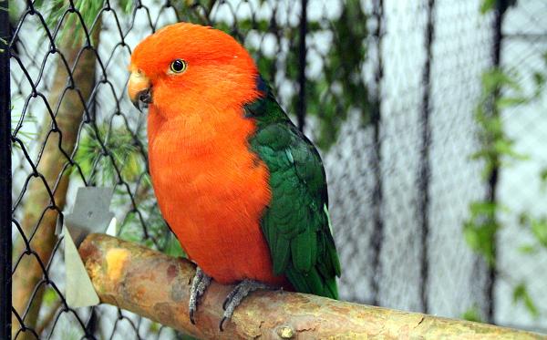 Jeden z nejčastěji chovaných středně velkých australských druhů: papoušek královský (Foto: Jan Potůček, Ararauna.cz)