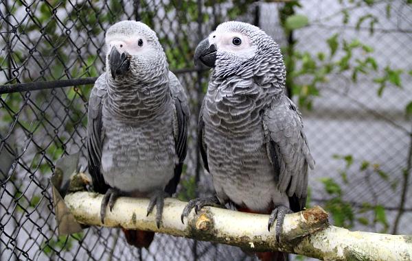 Největší africký papoušek - žako velký (Foto: Jan Potůček, Ararauna.cz)