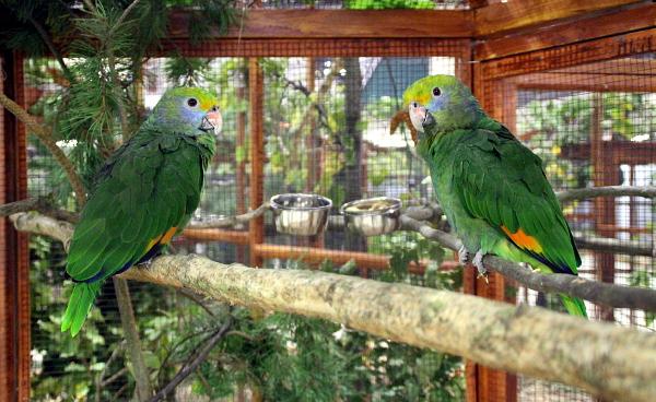 Chovný pár amazoňanů modrolících (Foto: Jan Potůček, Ararauna.cz)