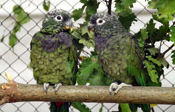 Mezi méně často chované druhy patří amazónek šupinkový (Foto: Jan Potůček, Ararauna.cz)