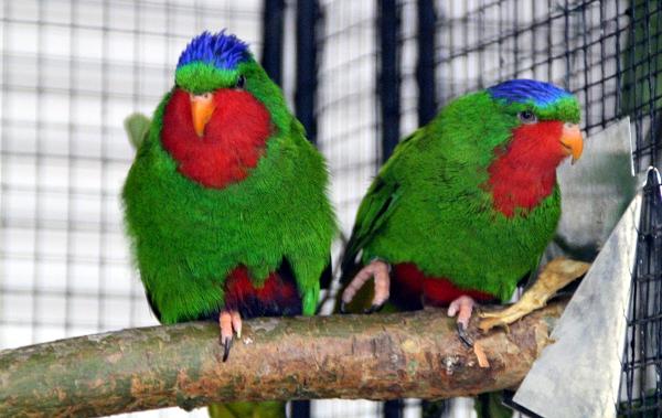 Ani vini modrotemenný nepatří mezi často chované druhy papoušků (Foto: Jan Potůček, Ararauna.cz)