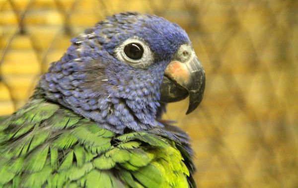 Detail hlavy amazónka modrohlavého (Foto: Jan Potůček, Ararauna.cz)