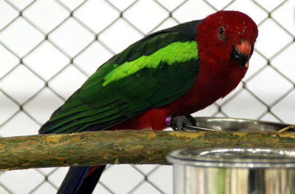 Vzácněji chovaný papoušek karmínový (Foto: Jan Potůček, Ararauna.cz)
