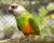 Africké papoušky na Exotě zastupuje například papoušek senegalský (Foto: Jan Potůček, Ararauna.cz)