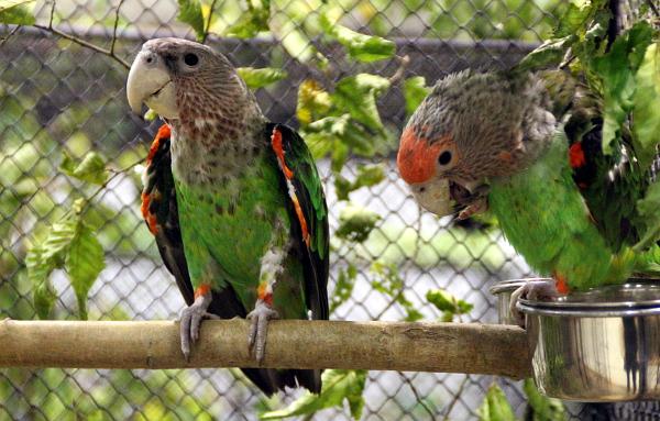 Větší příbuzný papouška senegalského: papoušek šedohlavý (Foto: Jan Potůček, Ararauna.cz)