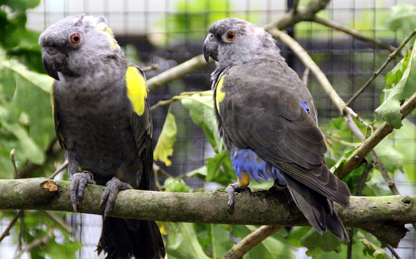 A druhý příbuzný papouška senegalského, papoušek hnědý (Foto: Jan Potůček, Ararauna.cz)
