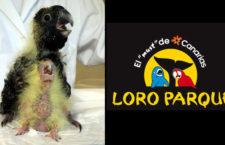 Loro Parque oznámil druhý letošní odchov tasmánského poddruhu kakadu černého