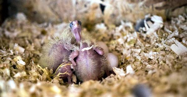 Mláďata v podestýlce hnízdní budky (Foto: Zdeňka Lapišová)
