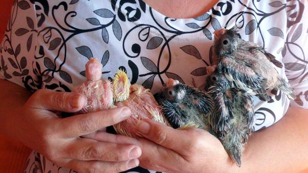 Mláďata z druhého hnízdění (Foto: Zdeňka Lapišová)