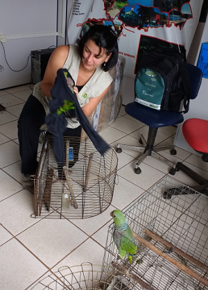 Převoz odevzdaných amazoňanů vínorudých do specializovaného chovného centra (Foto: ICMBio)
